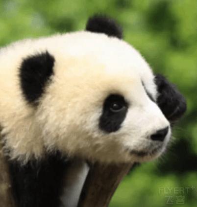【暑期限时特惠】成都大熊猫繁育研究基地门票(出示身份证入园)